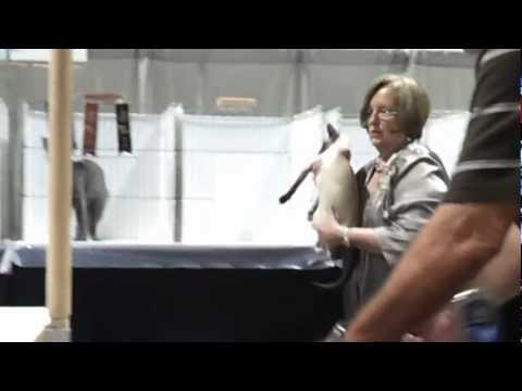 Baxter being judged by Barbara Sumner at Tampa regional cat show June 23 2012