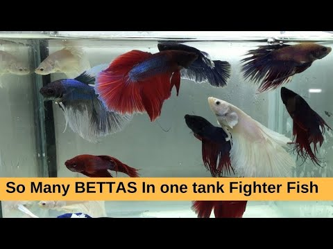 Betta Fish / Fighter Fish For Sale At Aquatic Kart Kashmir a