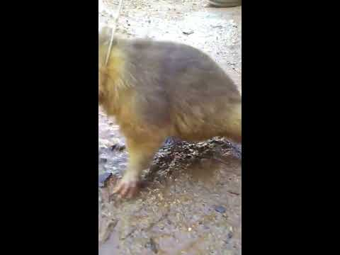 Solenodon found - Engandered species