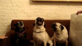 "Singing Pugs ""i Love You"""