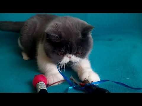Beautiful Exotic shorthair kittens