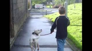 Staffordshire Bull Terrier - The 'real' Story.