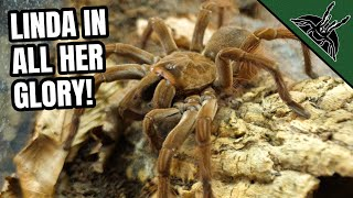 All About LINDA - World BIGGEST TARANTULA species