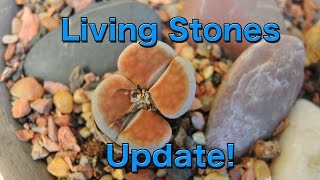 Living Stones Update - Lithops
