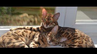 Экзотическая порода -- Бенгальские кошки