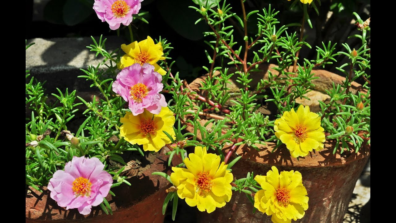 портулак садовый фото