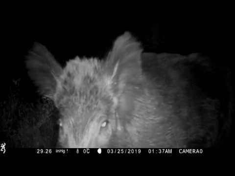 Download Sanglier vision nocturne caméra de chasse.