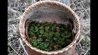 Gathering Fiddleheads in a Birchbark Basket - Foraging Wild Edibles