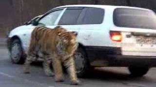 Siberian Tiger on the road. Амурский тигр на дороге .  To license this video contact info@lpe360.com