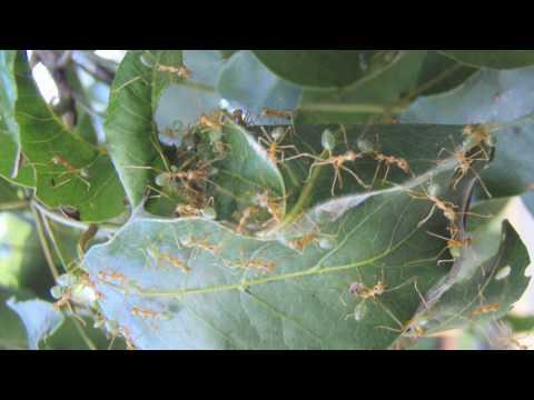 Intro to Australian Ants -- Australia Video Report #1
