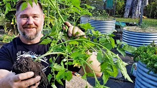 How to Transplant a Tomato Plant   Basic Gardening Tips for Beginners