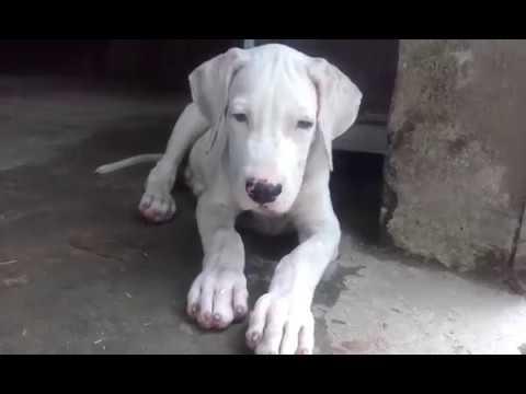 ten month gultair dog | FunnyDog TV