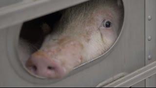 Download Video Mezbahaya Götürülen Domuzların Tüyler Ürpertici Son Anları MP3 3GP MP4