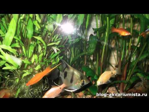 Рыбка меченосец: размножение, содержание, выращивание мальков.