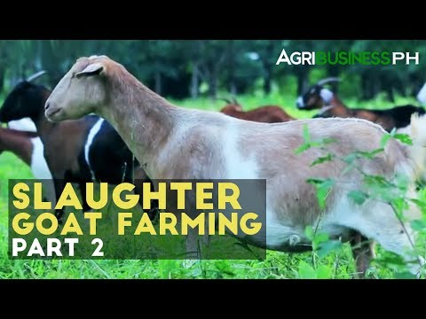 Slaughter Goat Farming Part 2 : How to Manage Slaughter Goat Farm |  Agribusiness Philippines