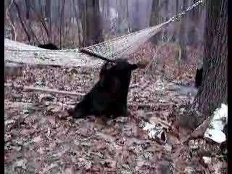 Funny Video Of Black Bear In Hammock Youtube