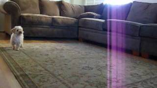 Twinkie Chases Laser Pointer