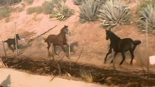Download Horse Gallops Into Burning Stable to Rescue Other Horses Mp3 and Videos