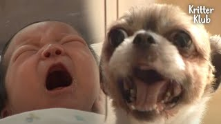 Attention-seeking Dog Cries Like A Baby, For Real | Kritter Klub