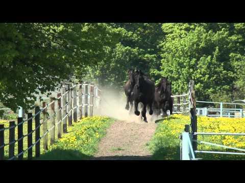 Friesen galoppieren zum Stall - Frisians gallop to the stable