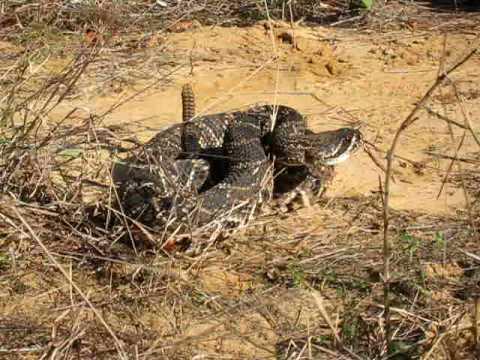 Diamondback rattlesnake (Crotalus adamanteus - eastern diamondback rattlesnake)