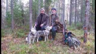 Проф. охота с гибридами лайки(ч4)