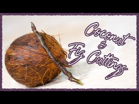Coconuts and Fig Cuttings