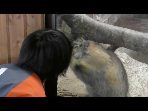 やっぱりおねえさんが好き! 最古のネコ マヌルネコ ポリーちゃん 那須どうぶつ王国へ行って来ました! 00090