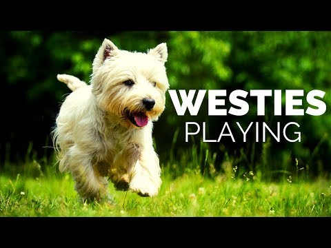 Westie Dog Playing Compilation!