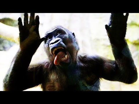 GORILLAS Pranking HUMANS 2017 [Funny Pets]