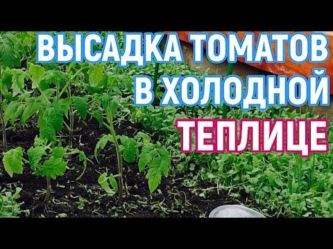 Высаживаю томаты в неотапливаемую  теплицу! Два саженца в лунку!