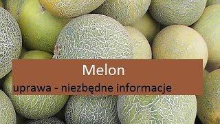 Melon - uprawa
