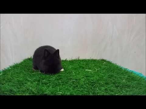 กระต่ายแคระ (Netherland Dwarf-ND) BJ001-5 Allawa Rabbit Farm
