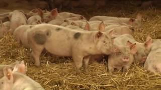 Reportage Porc sur Paille - Canal Zoom avril 2016