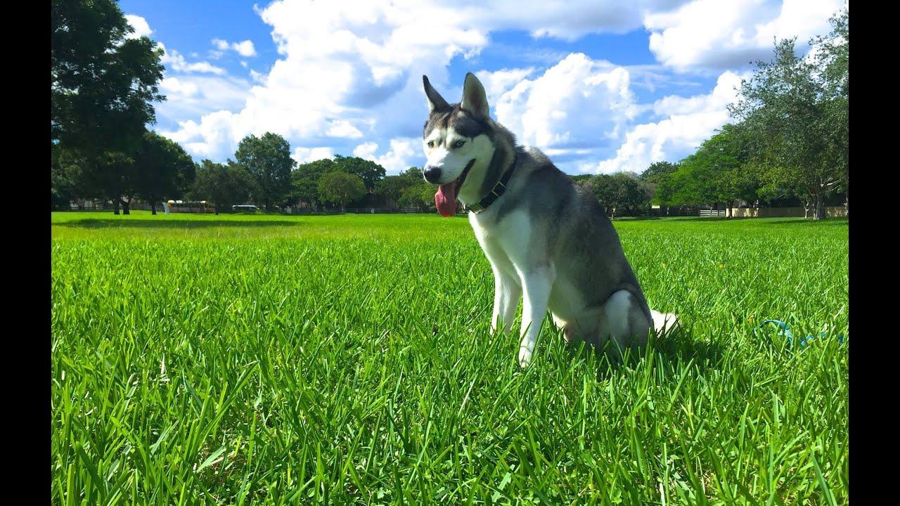 Husky LOVES to Run!