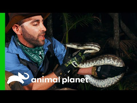 Coyote Is Bitten By A Python While Looking For Eels   Coyote Peterson: Brave The Wild