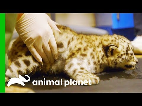 Snow Leopard Cub Starts Physical Therapy to Help Her Learn t