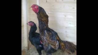 asil chickens, shamo chickens