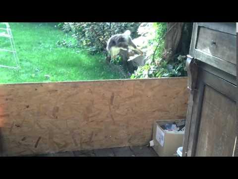 Dwergkonijn springt over 61 cm