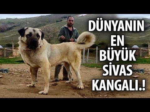 Dünyanın En Büyük Köpeği - Gören Herkesi Korkutuyor
