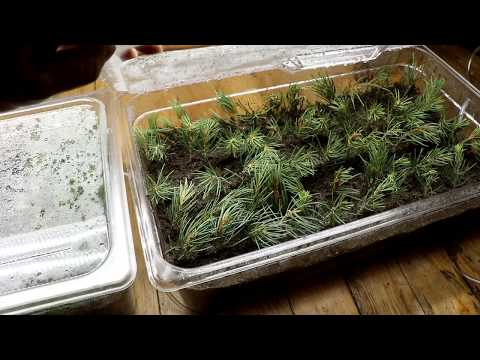 Reforesting the Ranch Part 2: Evergreen From Cuttings?