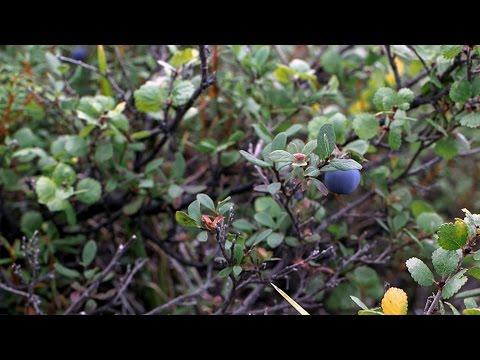 Alaska wild blueberry picking along the Denali Highway