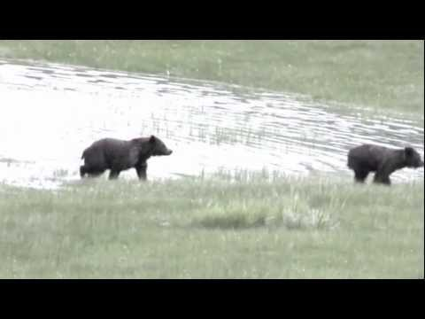 Grizzly Bear Dance Lesson # 1 - The Blue Danube Waltz - Yellowstone 2011