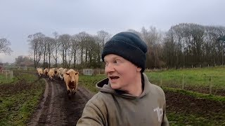 GETTING CHASED BY CATTLE TRYING TO BRING THEM IN