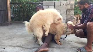 Chow chow Breeders in India, Bangalore
