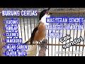 Masteran Cendet Lokal   Mp3 - Mp4 Download