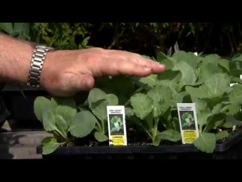 Basics of planting cole crops
