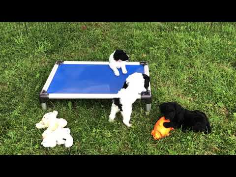 Glory's Schnoodle puppies 5/6/17 puppies available