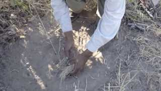 San Bushman preparing a steenbok trap