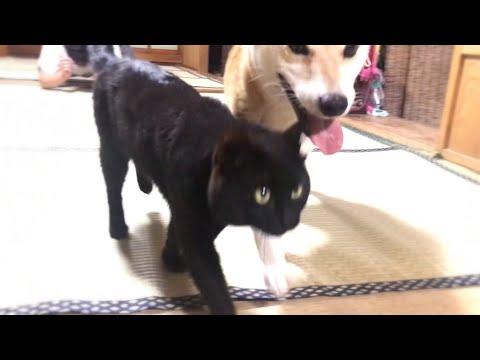 柴犬VS飼い主。猫は加勢…しない⁈ Play with my dog